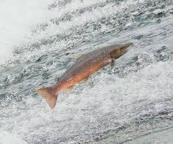 Salmon_Annacotty